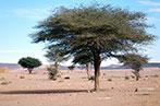 Tree in a desert in Morocco